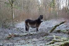 Winter Wild Pony On Moors