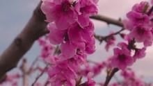 Peach Tree Flower At Spring 2