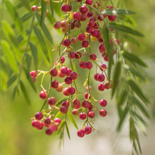 A Pink Pepper Tree With Pepper...