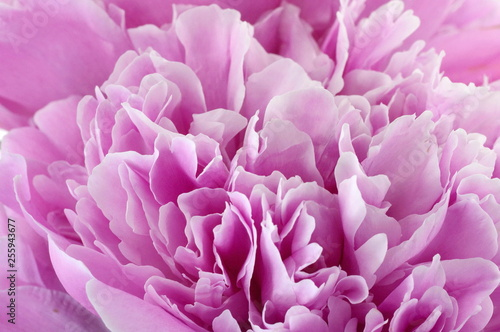 Poster de jardin Dahlia peony flower isolated on white
