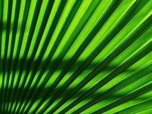 Palm Leaf Of Tree In Sunlight ...