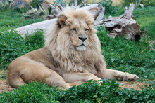 A Male Lion Relaxing In A Zoo ...