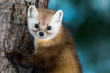 American Marten - Martes Americana, Climbing A Pine Tree Trunk, Making Eye Contact.  Background Is Bokeh Of Skylight Through The Forest.