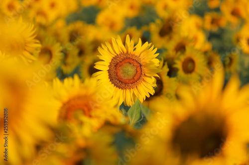 In de dag Zonnebloem beautiful sunflower field in the morning