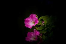 Petunia Flowers In Black Background.