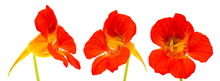 Flora Of Gran Canaria - Tropaeolum Majus