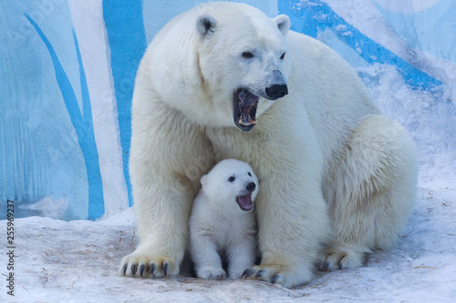 Photo Stands Polar bear Polar bear with cub on snow. Polar bear mom teaches the kid to growl.