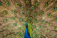 The Peacock Male Dissolved The...