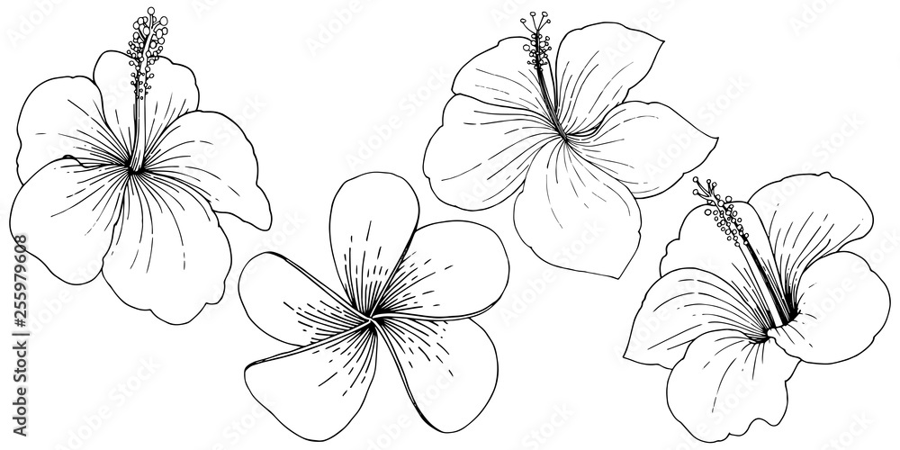 Fototapeta Vector Hibiscus floral tropical flowers. Black and white engraved ink art. Isolated hibiscus illustration element.
