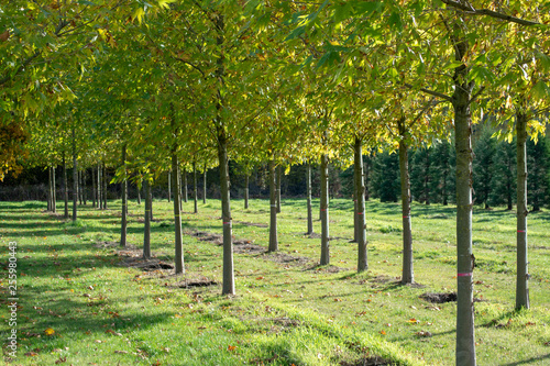 Public and privat garden, parks tree nursery in Netherlands, specialise in medium to very large sized trees, grey alder trees in rows in autumn