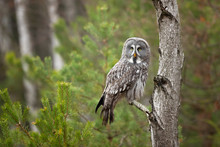 Great Grey Owl Or Great Gray Owl (Strix Nebulosa) Is A Very Large Owl, Documented As The World's Largest Species Of Owl By Length.
