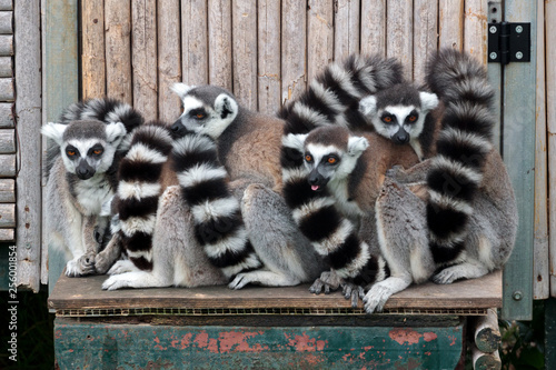 Fotografía  A group of ring tailed lemurs standing for a photo