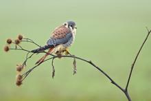 American Kestrel (Falco Sparverius) Is The Smallest And Most Common Falcon In North America.