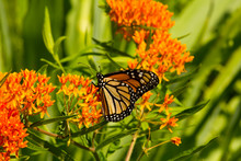 Monarch Butterfly With Delicat...