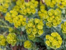 Myrtle Spurge (Euphorbia Myrsinites) Or Broad-leaved Glaucous-spurge Cultived As Ornamental Plant In Garden