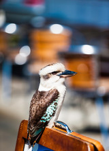 Kookaburra Sitting Outside A Cafe On The Great Ocean Road Near Melbourne, Australia