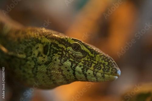 Photo  Lizard looking in camera
