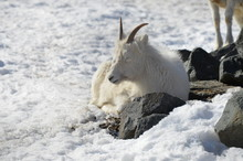 Dall Sheep In The Snow