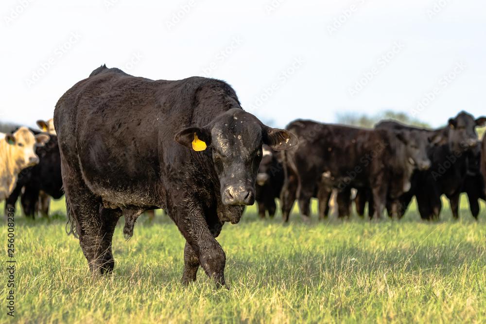 Fototapeta Angus bull with herd