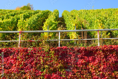Fotografia  grüner Weinberg oben und darunter an der Mauer eine Fläche roter Wilder Wein