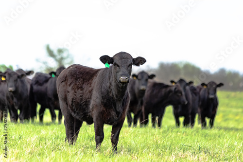 Photo Black Angus herd with heifer in front in focus
