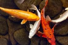 Carp In Pond, Colorful Fish,  Orange.
