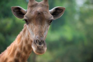 Żyrafa patrzy bezpośrednio w kamerę