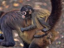 Spider Monkey, Ateles Geoffroyi, Female With Cub On Back, Guatemala