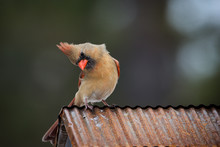 Female Cardinal Sitting On Copper Roof. Isolated Brown Bird With Orange Beak Soft Defocused Background