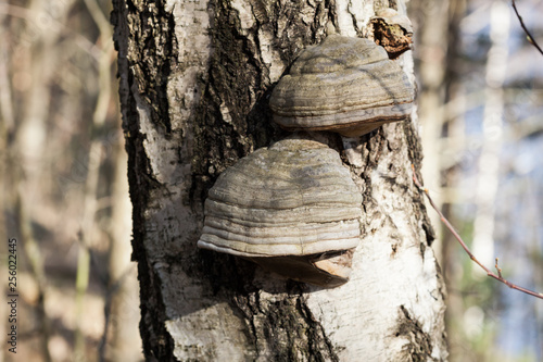 Fotografia, Obraz  Polypore on birch tree trunk