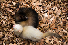 Two Black And White Rodents On Wood Chips