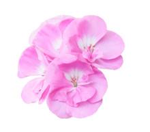 Pink Geranium, Isolated On White Background