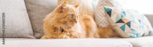 Tuinposter Kat Beautiful ginger long hair cat lying on the sofa on a sunny day at home