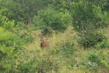 Sable Antelope In Shimba Hills...