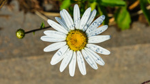 Oxeye Daisy, Leucanthemum Vulgare, Flower With Raindrops Macro With Bokeh Background, Selective Focus, Shallow DOF
