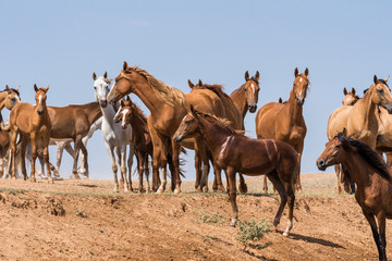 Horses at a watering place drink water and bathe during strong heat and drought. Kalmykia region, Russia.
