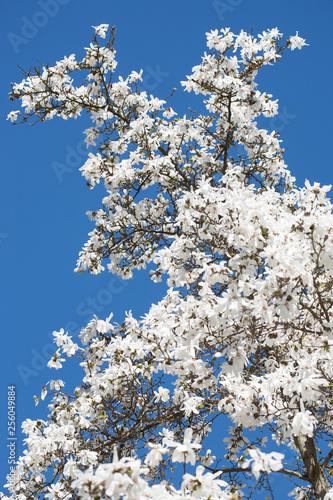 Foto op Plexiglas Magnolia Weiße Magnolien Blüten im Frühling