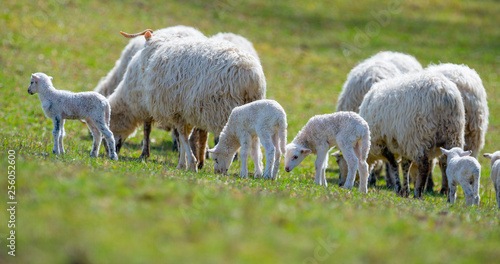 Foto op Canvas Schapen sheep and lambs on a spring meadow