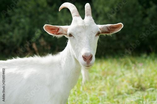 Foto op Plexiglas Weide, Moeras White goat near forest