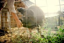 Person Feeding Apple To Hog Through Wire Fence