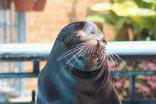 Sea Lion Seal Otter Walrus Sho...