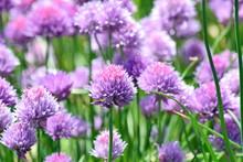 Chive Allium Schoenoprasum Colorful Blossom Home Gardening And Planting Stock Photo