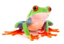 Red Eyed Monkey Tree Frog, Aga...
