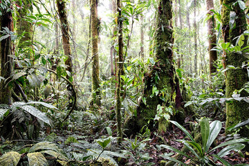 FototapetaTropical Amazon rain forest Colombia. Lush reen jungle vegetation with giant trees vines fern and moss