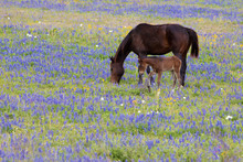 Horse Eating In A Bluebonnet Lupinus Texensis Country