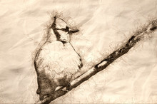 Sketch Of A Young Blue Jay All...