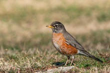 American Robin (turns Migrators) Looking For Worms On Spring Morning.