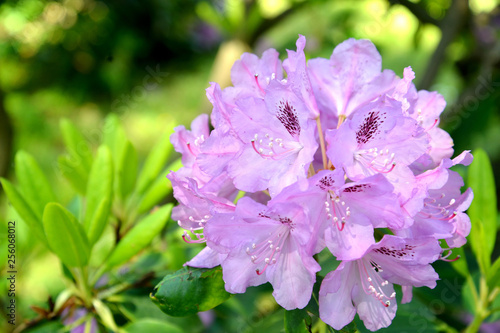 Tuinposter Azalea Inflorescence of a pink rhododendron (Rhododendron L.) close up