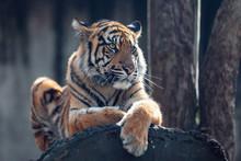 Sumatran Tiger (Panthera Tigri...