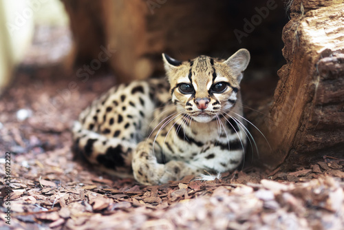 Photo  The margay (Leopardus wiedii) is a small wild cat native to Central and South America